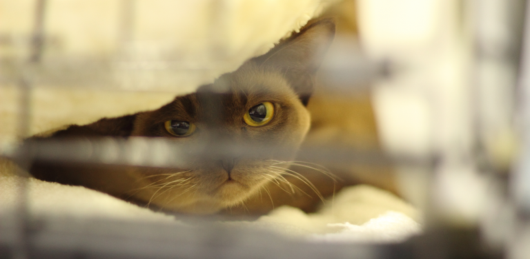 Burmese Cats | Sox'N'Dots Burmese Cats Breeder West Melton, NZ