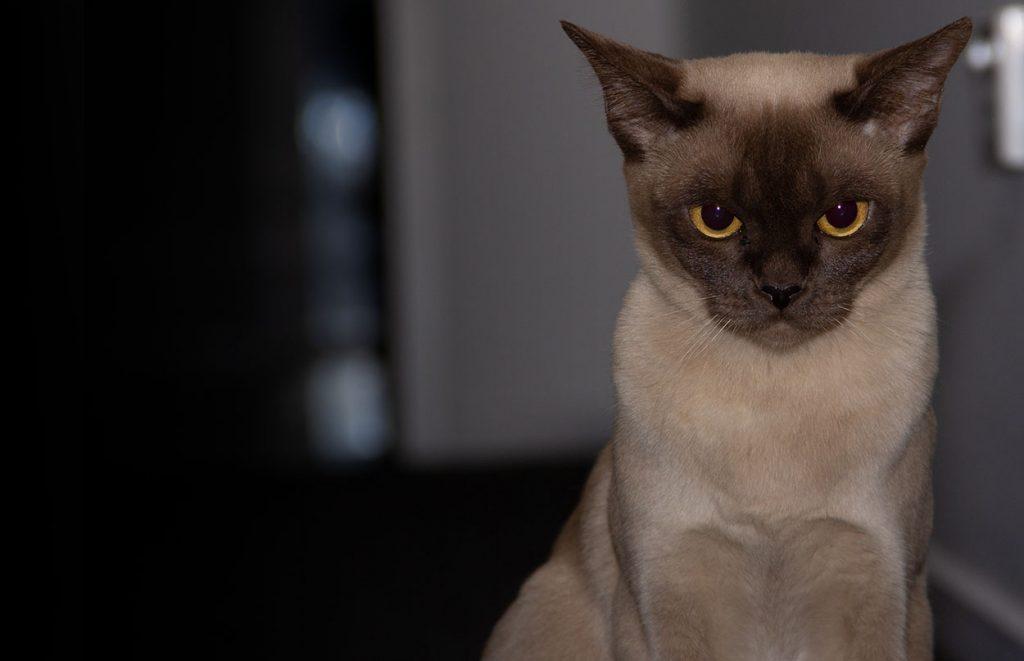 Daisy our Chocolate Burmese Cat